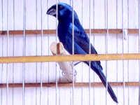 Azulão Nordestino corre risco de extinção